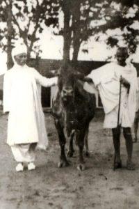 gandhi-and-malaviya-with-a-cow